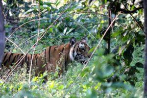 A_Bengal_Tiger_spotted_in_Jim_Corbett_National_Park_Uttarakhand_India