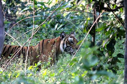 A_Bengal_Tiger_spotted_in_Jim_Corbett_National_Park_Uttarakhand_India