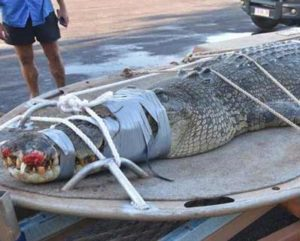 giant-crocodile-Australia